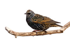 Profile of starling at rest on a branch. White background royalty free stock photos