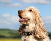Happy Cocker Spaniel dog outdoors royalty free stock images