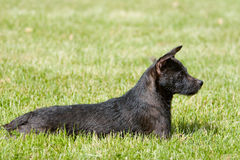 Profile of sunning Patterdale. Profile sunning Patterdale terrier dog laying in the grass outside royalty free stock image