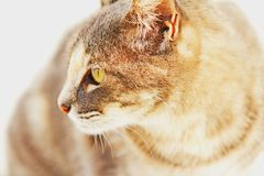 Curious Green Eyed Tabby Cat. Profile of tabby cat as she reacts to a sound. Detailed striped markings on her fur coat royalty free stock image