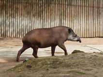 Profile of a tapir Royalty Free Stock Photography