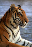 Profile of tiger. In captivity Royalty Free Stock Photography
