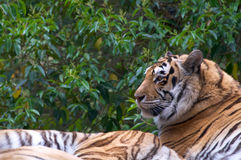 Profile of a tiger, trees in background Royalty Free Stock Images