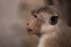 Profile of Toque Macaque Monkey. Toque Macaque monkey of Sri Lanka in profile royalty free stock image