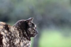 Tortoiseshell cat profile. A profile of a tortoiseshell cat on watch stock photography