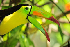 Profile of Toucan parrot. Closeup profile of the head and beak of a colorful Keel-billed Toucan parrot in a natural setting.  Family:  Ramphastidae Royalty Free Stock Photo