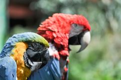 Profile of Two Colorful Macaw Parrots. Profile view of two colorful macaw parrots perched on a branch on a sunny day royalty free stock photo