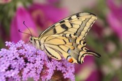 Profile Underside view of a beautiful common yellow swallowtail butterfly stock images