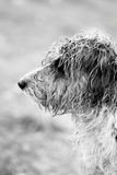 Profile view. Closeup view of the side profile of a wet domestic dog Stock Image