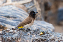 Profile view of the African Red-eyed Bulbul Royalty Free Stock Photos