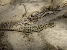 Profile view of an alligator lizard