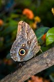 Side view of an Owl Butterfly royalty free stock photo