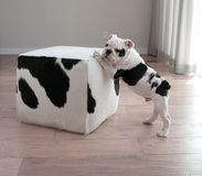 Profile view of black and white bulldog puppy dog leans on block. Black and white bulldog puppy dog leans on cow hide ottoman square furniture. He is turning his stock photography