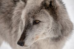 A profile view of a British Columbian wolf stock photo