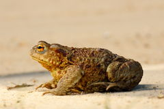 Profile view of brown common toad Stock Image