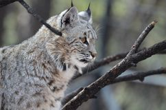 Profile View of a Canadian Lynx. Beautiful profile view of a Canadian lynx bobcat in the wild Stock Image