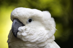 Profile view of cockatoo face. Royalty Free Stock Image