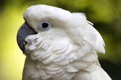 Profile view of cockatoo face. Royalty Free Stock Photography