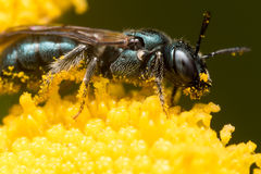 Profile View of Dark Green Metallic Sweat Bee on Yellow Flower Stock Photography