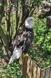 Bald Eagle Profile Full Length. Profile view of a full-length bald eagle perched on a wood fence on a sunny day stock photography