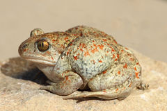 Profile view of garlic toad Stock Photos