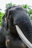 Profile view of giant Sumatra elephant with big tusk stock photos