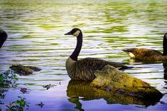Goose swimming Stock Image