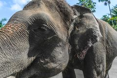 Profile view of huge Sumatra elephant trying to reach something with his trunk royalty free stock photography