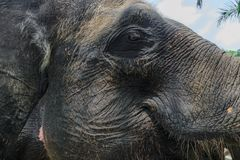 Profile view of huge Sumatra elephant trying to reach something with his trunk royalty free stock photo