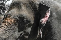 Profile view of huge Sumatra elephant trying to reach something with his trunk stock image