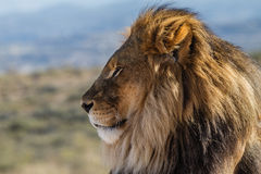 Profile view of a Lion King of the wild stock image