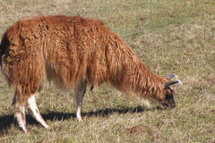 Profile View of LLama Grazing Stock Images