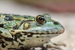 Profile view of marsh frog head. & x28; Pelophylax ridibundus, macro image & x29 Stock Photography
