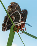Profile view of orange, white and brown giant silk moth on green Stock Photos