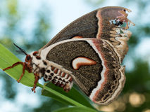 Profile view of orange, white and brown giant silk moth on green Stock Image