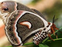 Profile view of orange, white and brown giant silk moth on green Stock Photo
