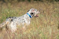 Profile view of Pointer dog with long hair and open mouth royalty free stock images
