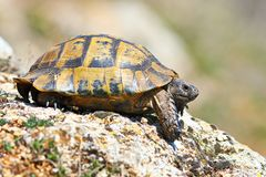 Profile view of Testudo graeca in natural habitat stock photography