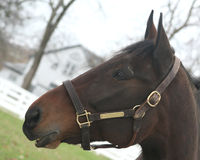 Profile view of a thoroughbred horse Stock Image