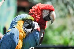 Profile of Two Colorful Macaw Parrots. Profile view of two colorful macaw parrots perched on a branch on a sunny day royalty free stock photography
