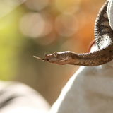Profile view of vipera ammodytes Royalty Free Stock Image