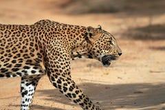 Profile View of a Walking Leopard. Close Profile View of a Sri Lankan Leopard (Panthera Pardus Kotiya) Crossing a Sandy Road, Yala, Sri Lanka Stock Photos
