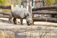 Profile view of a white rhinoceros Stock Photos