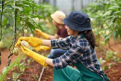 Harvesting Ripe Pepinos Stock Photography