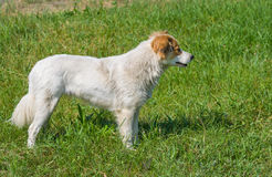 Profile view of young street dog Royalty Free Stock Photo