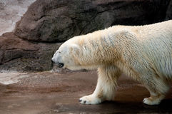 Profile of a walking polar bear. Polar bear walking on a stoney surface Stock Photography