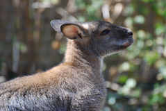 Profile of a Wallaby Royalty Free Stock Image