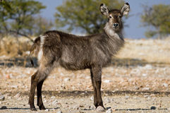 A profile of a waterbuck  in the African Savanna. Stock Image