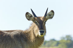 Profile of a waterbuck Stock Photos