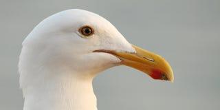 Profile Of Western Gull Beak. Profile of a Western Gulls beak in coastal California Stock Photo
